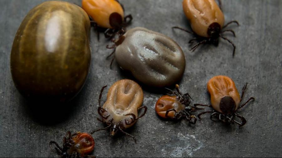 Les tiques sont des petits arachnides et on en compte environ 850 espèces dans le monde. Pour la plupart, elles vivent dans les herbes hautes, les arbustes et les tas de feu ...