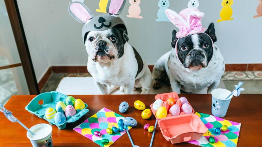 L'intoxication par le chocolat chez le chien  Les chiens aiment manger du chocolat. Nous recevons chaque année plusieurs appels pour des intoxications à ce suje ...